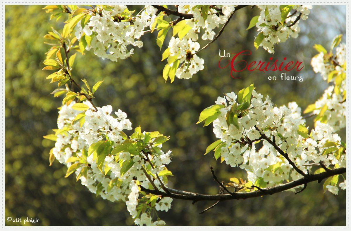 Un cerisier en fleurs